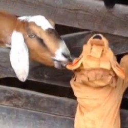 Video of Goat vs. Little Lion at Schramm Farms