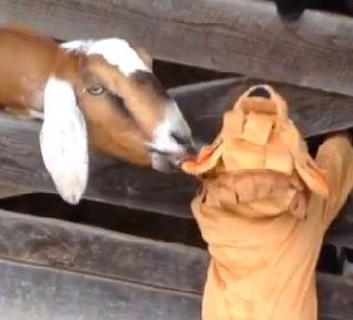 goat eats kid in lion costume